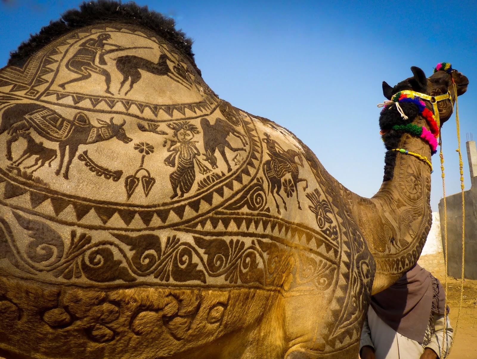 1440326012_nagaur fair, shaved camel